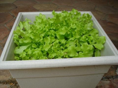lettuce-in-a-pot