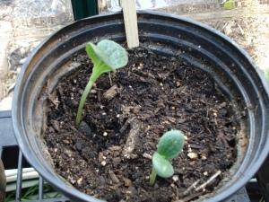 saffron squash seedlings