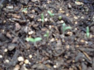 Black Krim Tomato seedlings