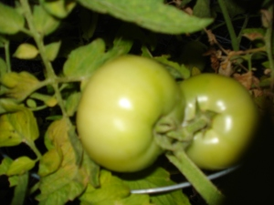 Late June Tomatoes 064