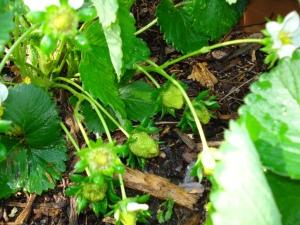 strawberries soon!