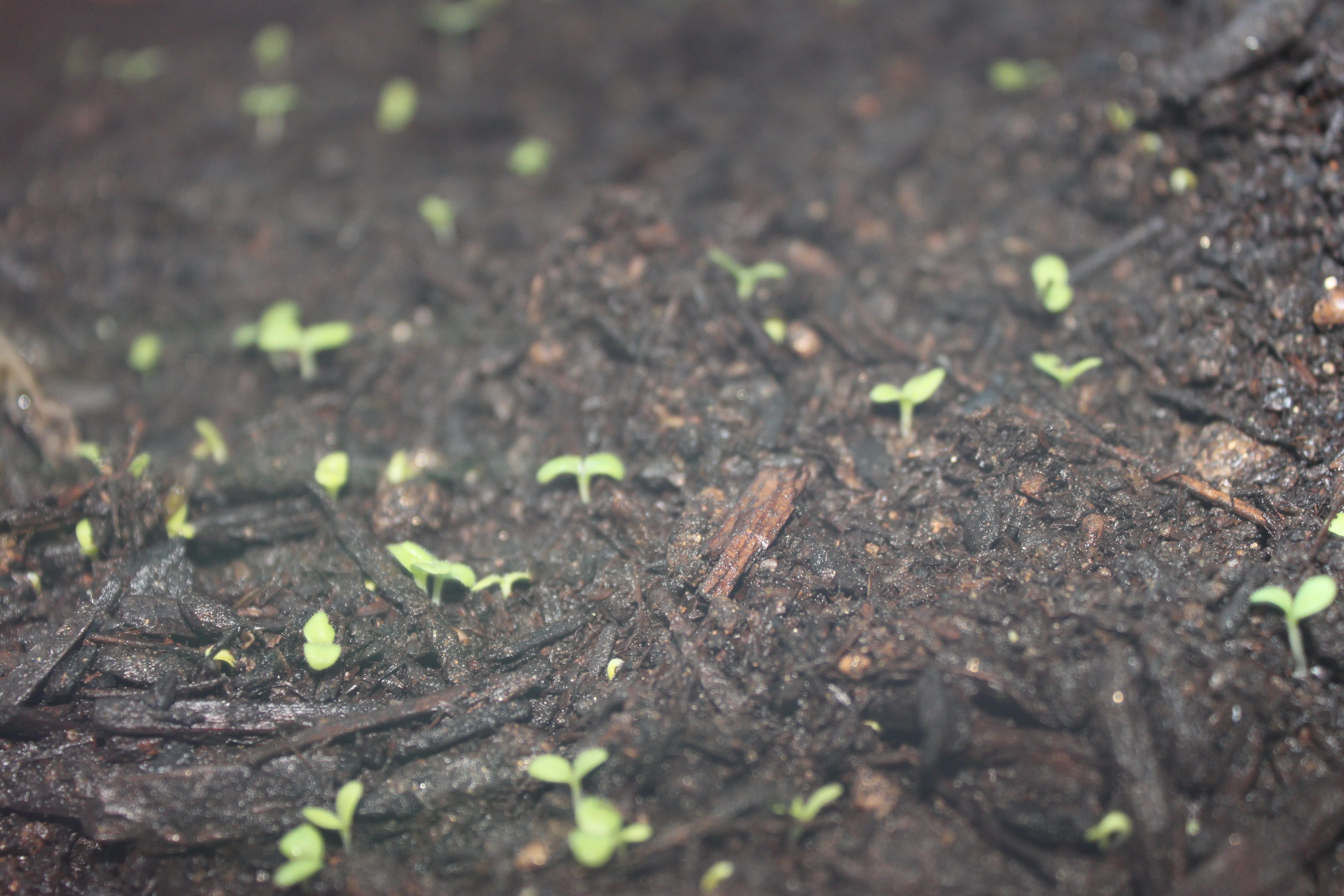 black seeded simpson lettuce