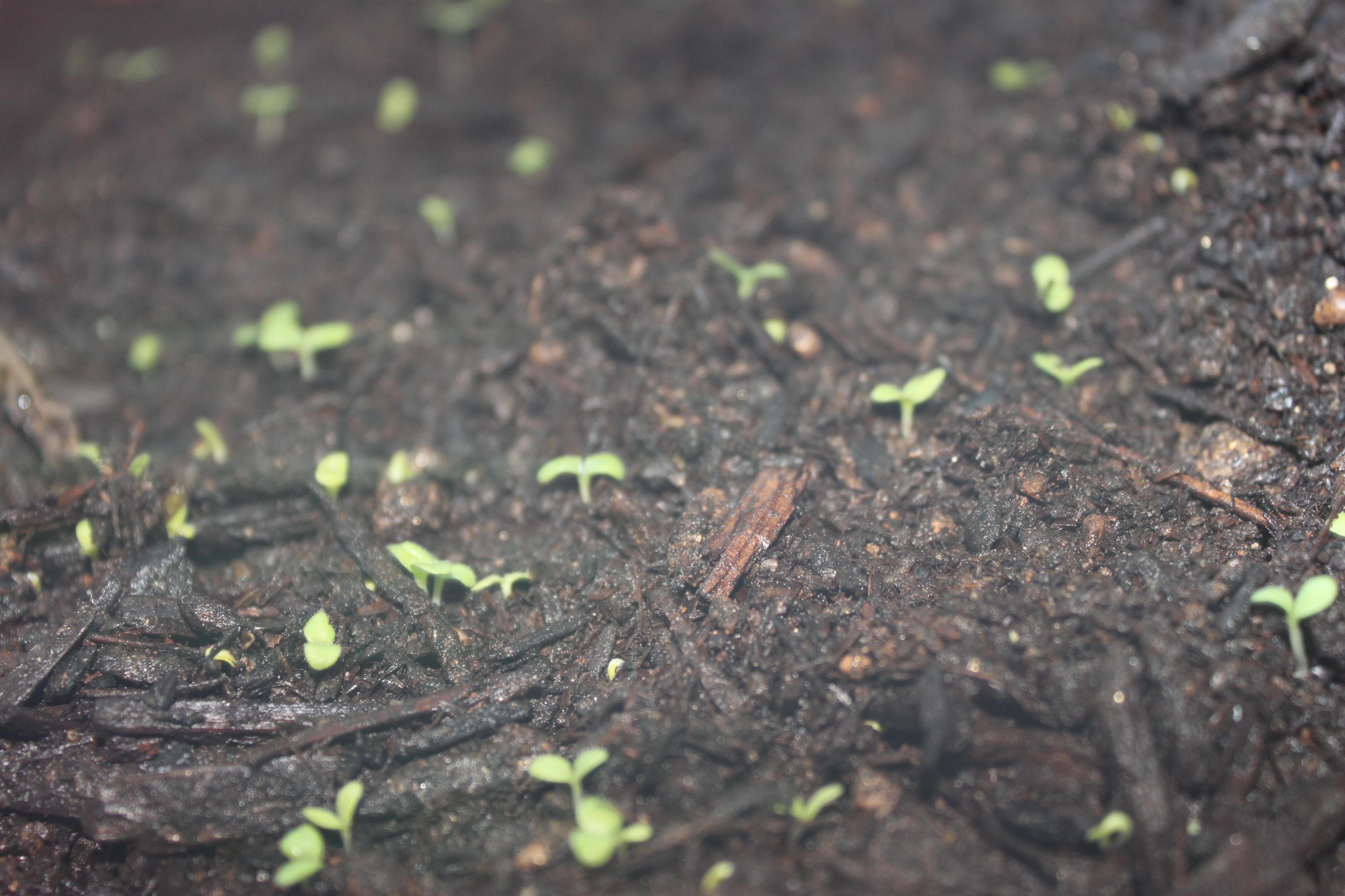 Black Seeded Simpson LettuceLettuce Growing Stages