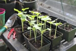 Butternut Squash, Lemon Cucumbers, and Tomato Seedlings