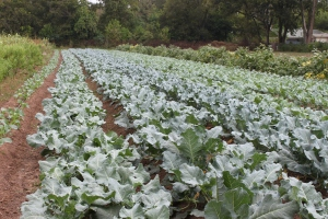 Broccoli at Boggy Creek Farm