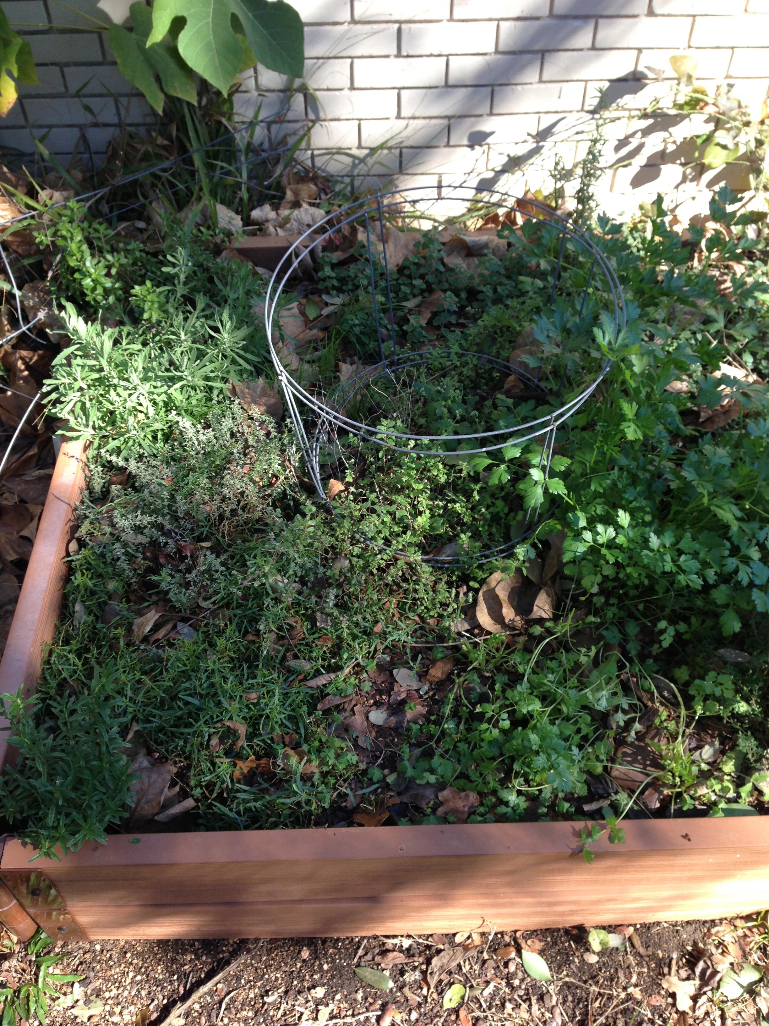 growing carrots austin urban gardens