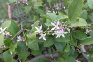 Flowering citrus