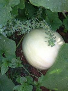 Mystery Melon