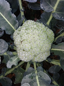Broccoli is Ready