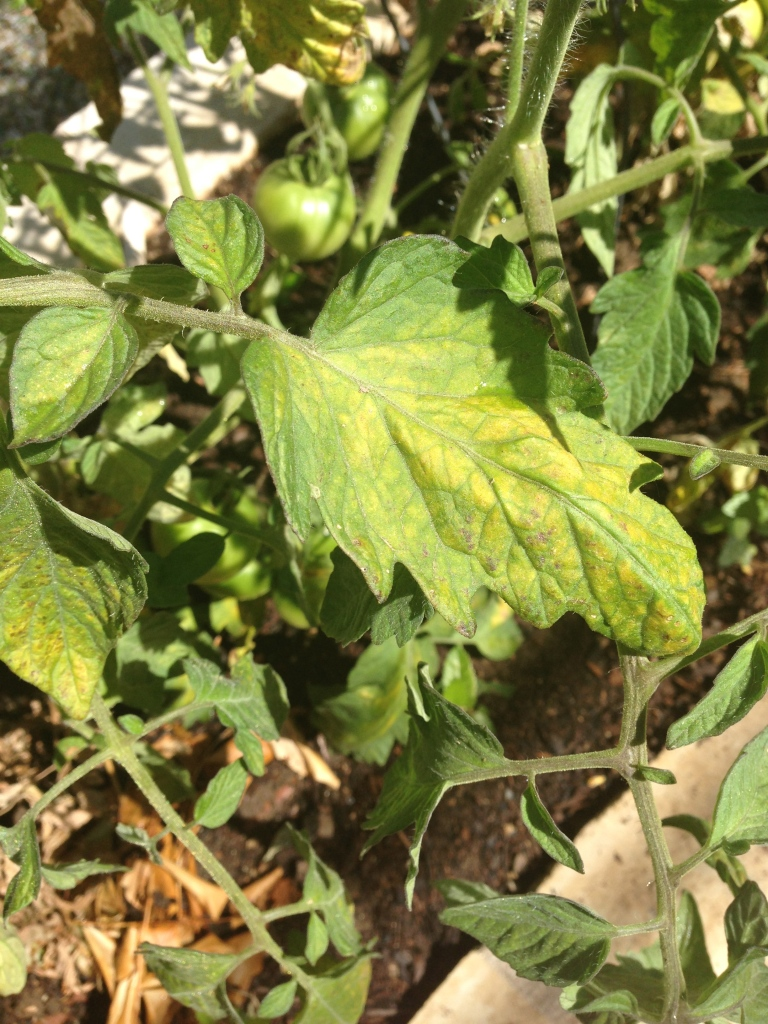 Spider mite damage