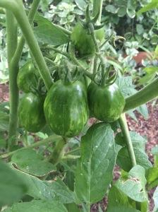 Michael Pollan Tomato